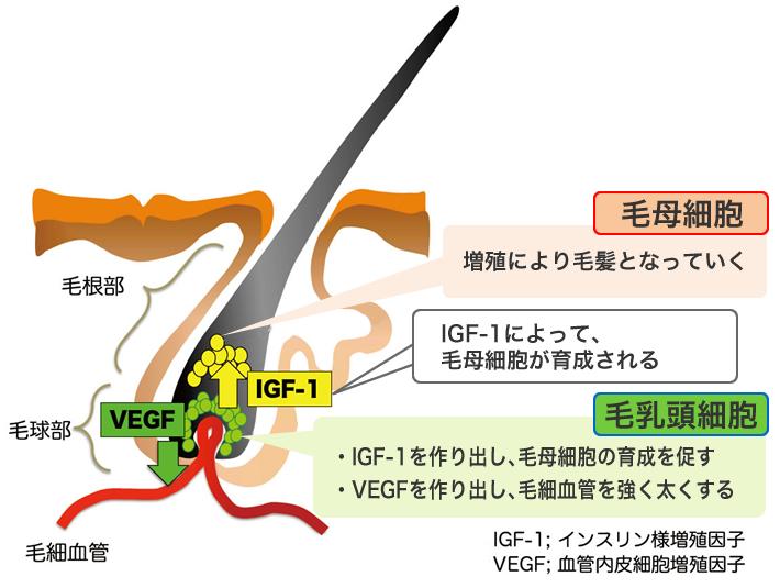 HGPの育毛効果と髪の構造